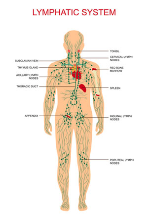 Medical illustration of the Lymph System